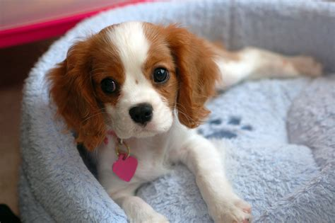 king cavalier cavalier king charles spaniel wallpapers backgrounds