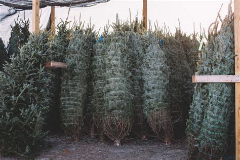 christmas trees in leland patrick tucker from mahogany