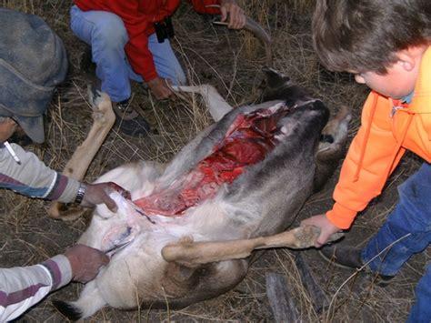 how to gut a buck bills hunt for mule deer malta mt 2007