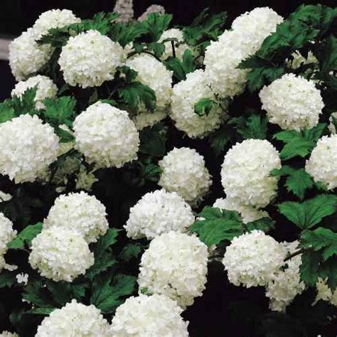 snowball flowering shrub 25 best ideas about snowball viburnum on