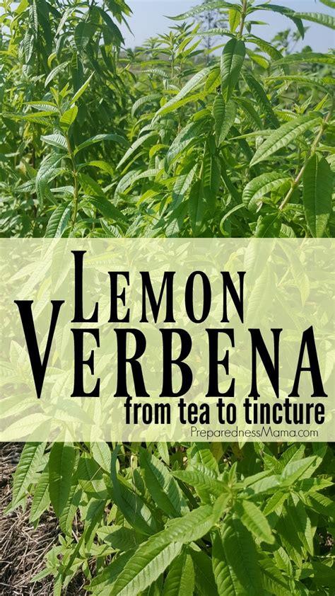 growing  lemon verbena  tea  tincture