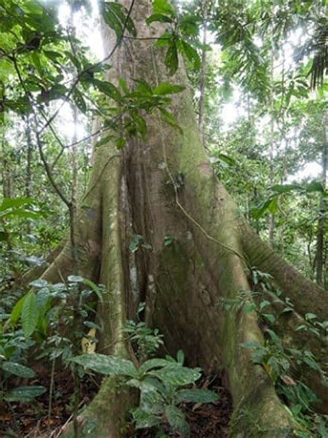 can you buy plants on amazon gallery for gt ceiba tree rainforest