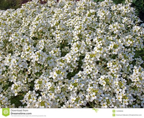 fiori bianchi piccoli piccoli fiori bianchi immagine stock libera da diritti