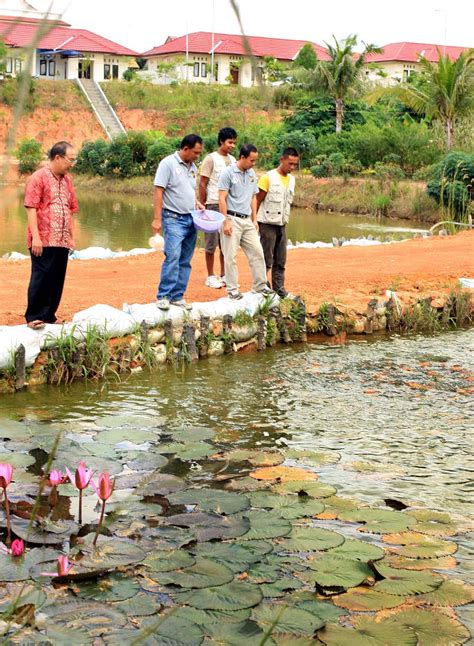 Taman Hias Benih Biji Buah Bibit Jambu Air Madu Merah geliat wisata agro di nongsa esont s weblog