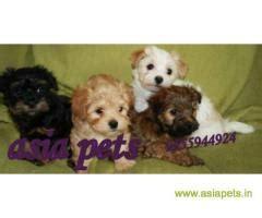 buy havanese puppy india chandigarh
