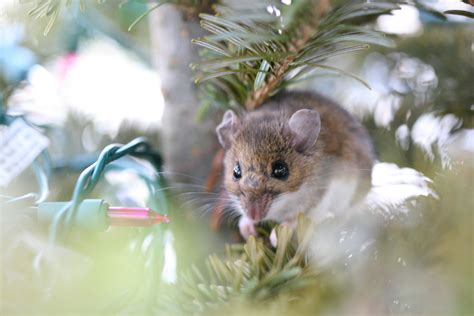christmas tree mouse photo page everystockphoto