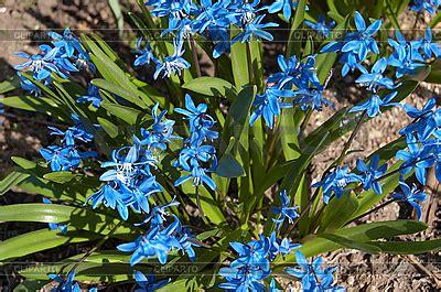 Id 82 Blue Flower blau fr 252 hlingsblumen foto mit hoher aufl 246 sung cliparto