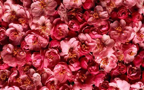 flower expert red and pink roses image natuur bloemen abstracte roze kleuren patronen desktop hd