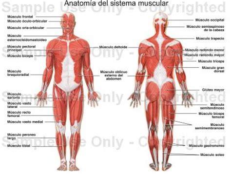 !!!de todo un poco¡¡¡: !!sistema muscular humano!!
