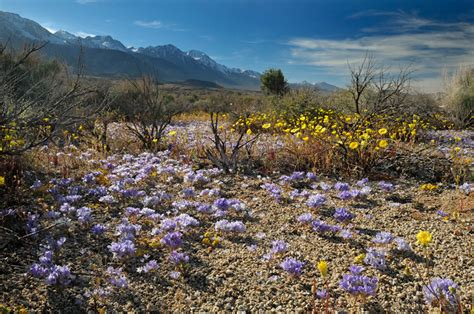 california desert flowers beautiful california native wildflowers home page