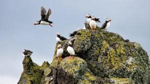 Henry Picture Puffins your pictures of scotland 20 27 july news