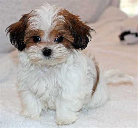 malshipoo puppies for sale malshipoo information puppy for sale alternative views breed pomeranian date of