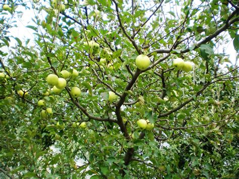 apple tree canada floral delivery the history of the apple tree
