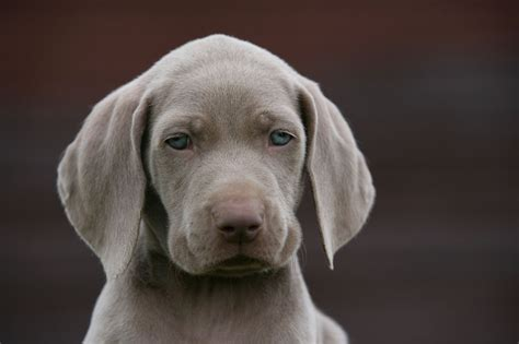 weimaraner puppies rescue weimaraner puppies for sale free to home breeds picture