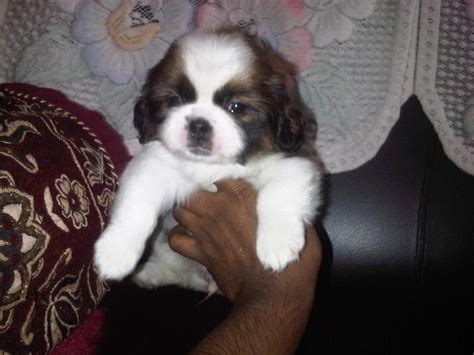 shih tzu for sale in bangalore shih tzu puppies for sale mario diwakar 9844404007 1 13139 dogs for sale price