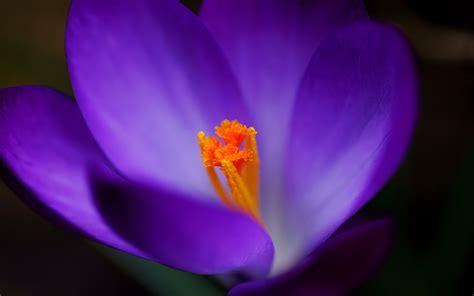 imagenes de paisajes violetas fondo de pantalla flor violeta con estambre amarillo hd