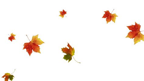 Fall Orange Leaves On White Background Stock Footage Fall Leaves On White Background