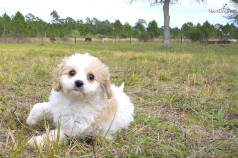 puppies for sale bradenton fl cavapoo puppy for sale near sarasota bradenton florida 91dd41c6 bd01