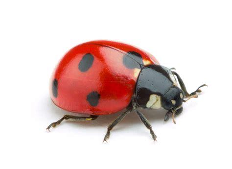 lawn service marketing ladybug isolate on white background aai pest control