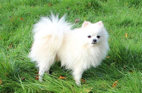 white and pomeranian white pomeranian