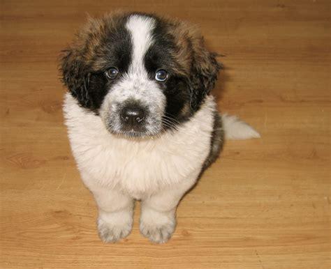 san bernardo san bernardo razas perros mascotas