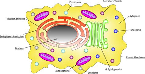 protein localization mammalian protein localization database