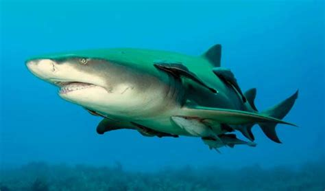 baby shark explained animals in the news advocacy for animals