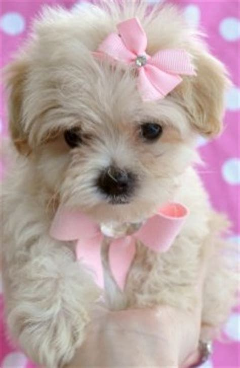 small teacup dogs small teacup breeds breeds picture