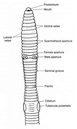 earthworm - Crassiclitellata, Terrimegadrili