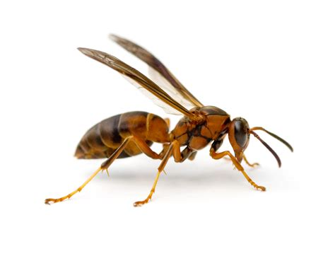 bees wasps and ants and other stinging insects classic reprint books insect pests armor