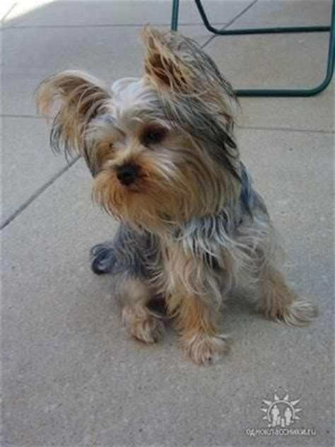 alpha yorkies yorkies pictures and so on