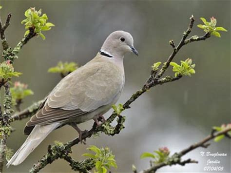 grey dove with black ring around neck eurasian collared dove
