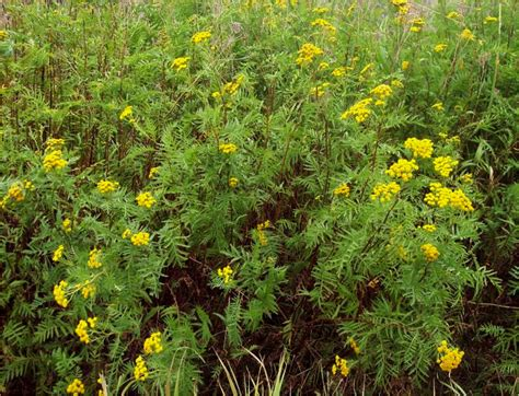 Yellow Garden Flower Common Tansy Identification And Management Techline Invasive Plant With Yellow Flowers