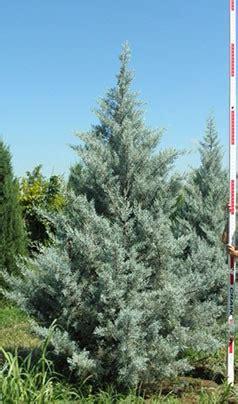 cupressus arizonica blue ice deep fork tree farm