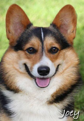 corgi puppies for sale in southern california 25 best ideas about corgi puppies on pembroke corgi puppies