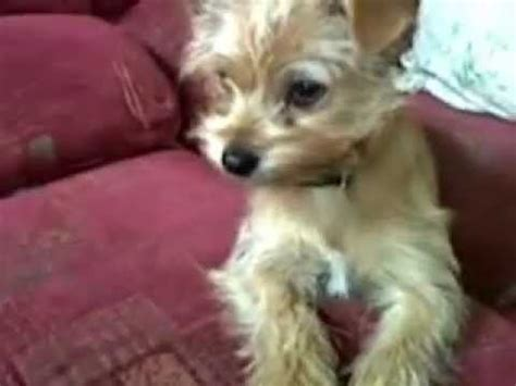 yorkie crossed with chihuahua my molly terrier cross chihuahua