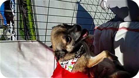 beverly chihuahua pug beverly ca pug chihuahua mix meet grande a for adoption