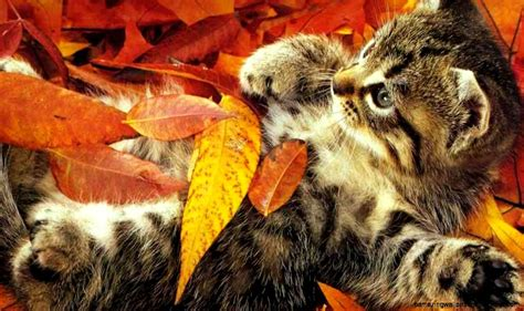 wallpaper cat autumn fall wallpaper with cats amazing wallpapers