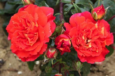 eternal roses buy eternal flame roses online ashridge trees