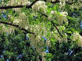 small black tree black locust and honey locust fragrant earth