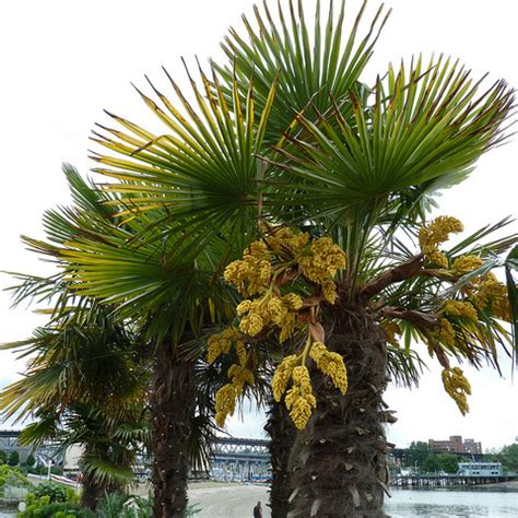 Le Palmier palmier rustique liste ooreka