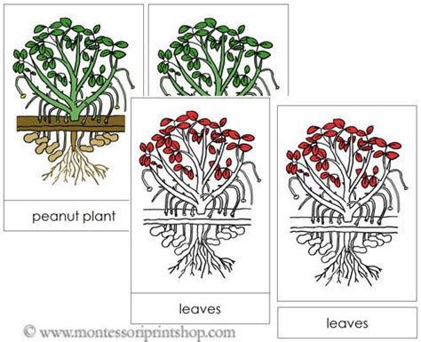 montessori materials flower nomenclature cards age 3 to 6 17 best images about botany nomenclature in red on