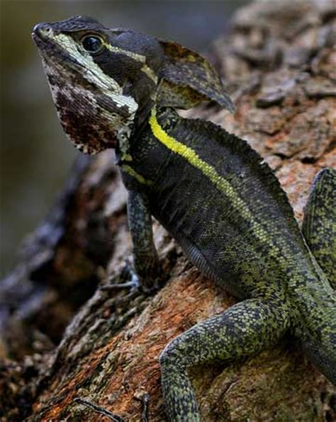 water lizard the jesus lizard running on water animal pictures and facts factzoo