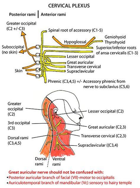 diagram of nerves in neck instant anatomy and neck nerves somatic nerves
