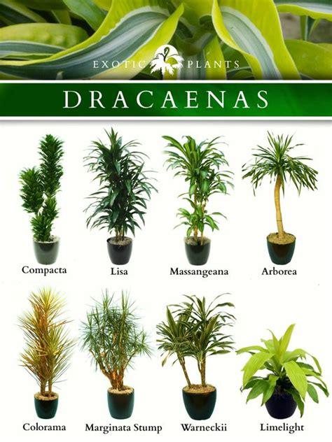 common house plants with names name dracaenas common name bamboo plant corn