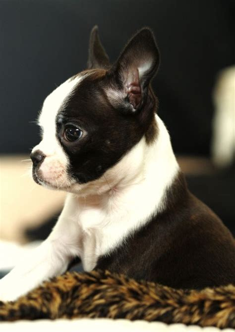 boston bull terrier puppies 17 best ideas about baby boston terriers on boston terrier puppies boston