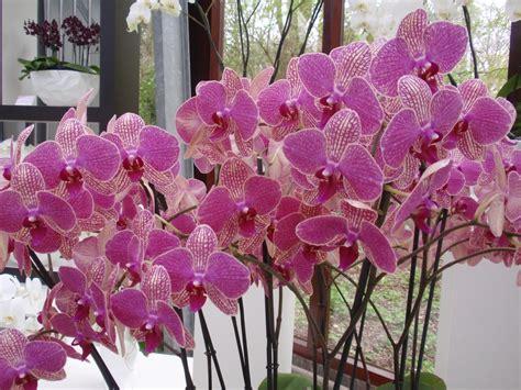 orchidea coltivazione in vaso come coltivare le orchidee orchidee coltivazione delle