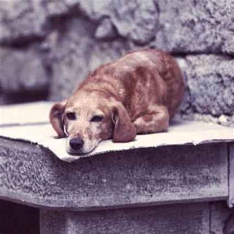 depression in dogs depressed signs images