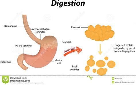 protein z function digestion of proteins stock vector image 45844994