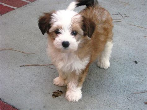 crested powder puff puppies crested image picture powder puff crested breeds picture
